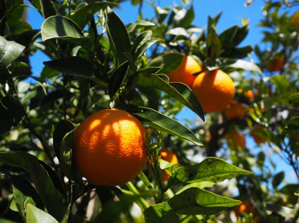 plantação de laranja bahia
