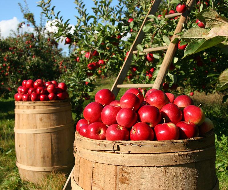 brandy maçã pomar