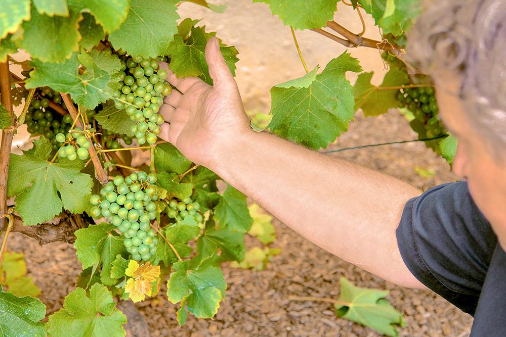 campo de plantação de uvas