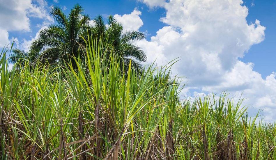 plantação de cana